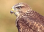 Research Common Buzzard breeding success boosted by oilseed rape
