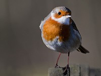 BTO Santa Robin still going strong