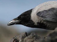 Research Crows have brain power to solve human-level thought problems