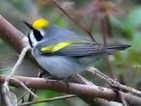 Research Golden-winged Warblers detect storm in advance