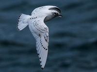 Research Sea ice crucial to annual movement patterns of Canadian Ivory Gulls