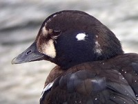 Rarity finders Harlequin Duck in Aberdeen