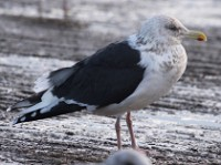 Rarity finders The Slaty-backed Gull at Killybegs