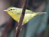 Birding abroad Vietnam: an Oriental jewel