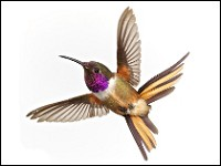Research New species of hummingbird proposed in Bahamas