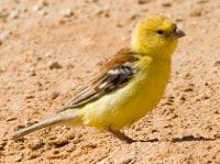 Rare Western Palearctic birds Sudan Golden Sparrows in Western Sahara
