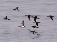 Articles Wind Chasers: counting Istanbul's Yelkouan Shearwaters