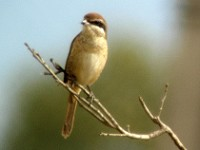 Rarity finders Brown Shrike - a first for Spain