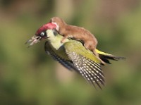 Articles Incredible photo sequence shows weasel attack on Green Woodpecker
