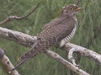 Rarity finders Common Cuckoo on Barbados