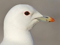 Research Mercury pollution risk to Ivory Gulls