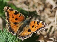Rarity finders Scarce Tortoiseshell in West Sussex