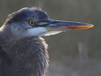 Rarity finders Great Blue Heron on Scilly