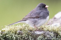 Rarity finders Dark-eyed Junco on Shetland