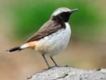 Rarity finders Kurdish Wheatear in Auvergne  - a first for France