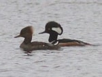 Rarity finders Hooded Mergansers in Co Donegal