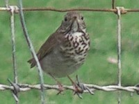 Rarity finders Grey-cheeked Thrush in Co Mayo