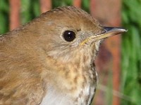 Rarity finders Veery on North Ronaldsay