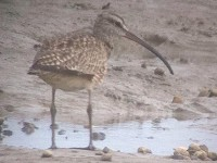Rarity finders Hudsonian Whimbrel in West Sussex