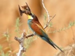 Articles Astonishing photo sequence depicts Bee-eater apparently preying on bat