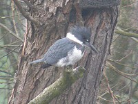 Articles The Belted Kingfisher
