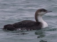 Rarity finders Pacific Diver - a first for Norway