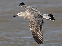 Focus On Summer Caspian Gulls