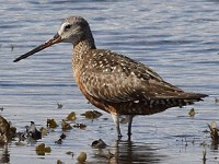 Rarity finders Hudsonian Godwit in Co Galway