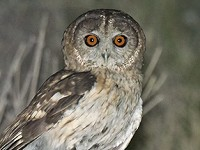Research Unravelling the mystery of Omani Owl
