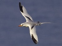 Rarity finders The love affair continues - Red-billed Tropicbird in Cornwall