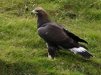 Articles Breeding Golden Eagles in Co. Donegal