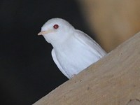 Articles An albino Barn Swallow in Gloucestershire