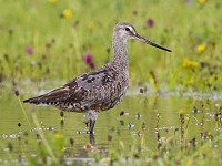 Rarity finders Hudsonian Godwit on Inishmore, Co Galway