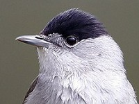 BTO Blackcap migration strategy influenced by garden bird feeding