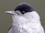 BTO Blackcap migration strategy influenced by garden bird feeding