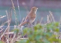 Rarity finders Thick-billed Warbler on Shetland