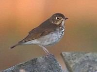 Rarity finders Swainson's Thrush on Sanday