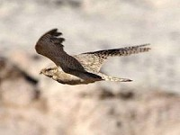 Birding abroad Egyptian Nightjars can be tricky in Morocco