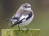 Rarity finders Collared Flycatcher on Shetland