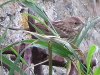 Articles The Chestnut Bunting on Papa Westray