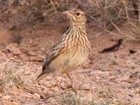 Birding abroad Dupont's Larks are easy!