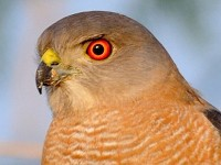 Rare Western Palearctic birds Shikra