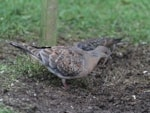Articles Oriental Turtle Dove on Shetland