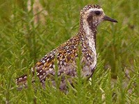 Focus On Pacific Golden Plovers
