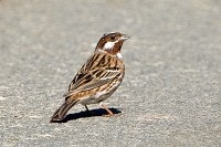 Focus On Pine Bunting
