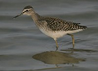 Focus On Green and Wood Sandpipers