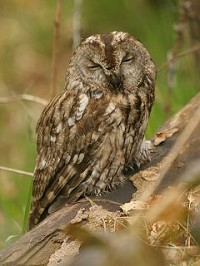 BTO Tawny Owl Survey 2005 - can you help?