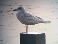 Rarity finders Thayer's-type Gull in Aberdeenshire