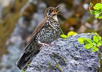 Research New species of thrush described in India and China