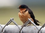Research Swallow wintering grounds located by chemicals and geolocators